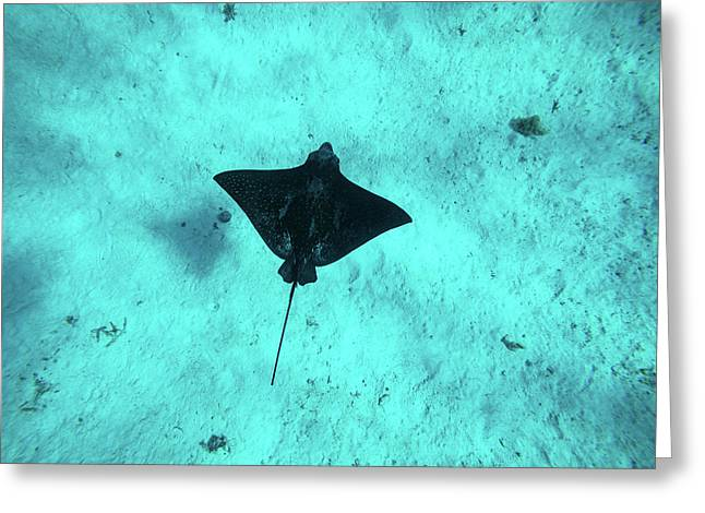 Eagle Ray Swimming In The Pacific Greeting Card