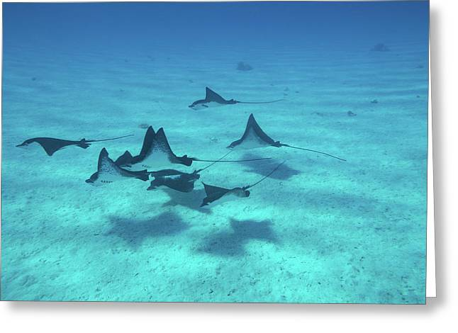 Eagle Rays Swimming In The Pacific Greeting Card