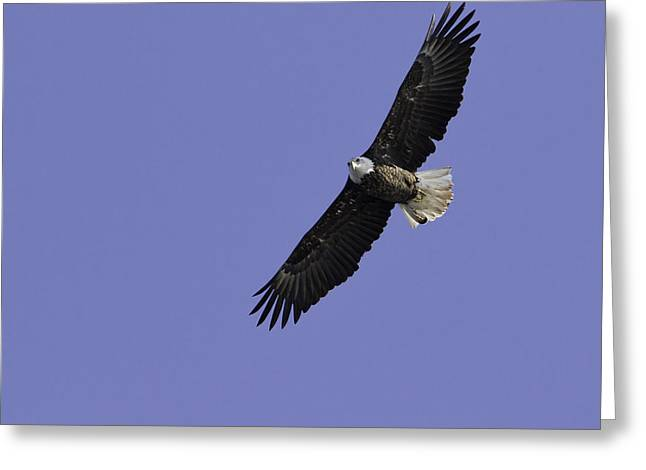Eagle Soaring In The Sky Greeting Card by Thomas Young