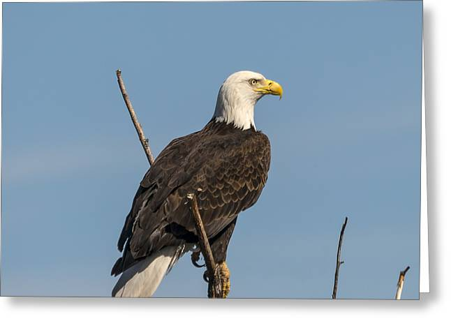 Eagle View Greeting Card by Loree Johnson