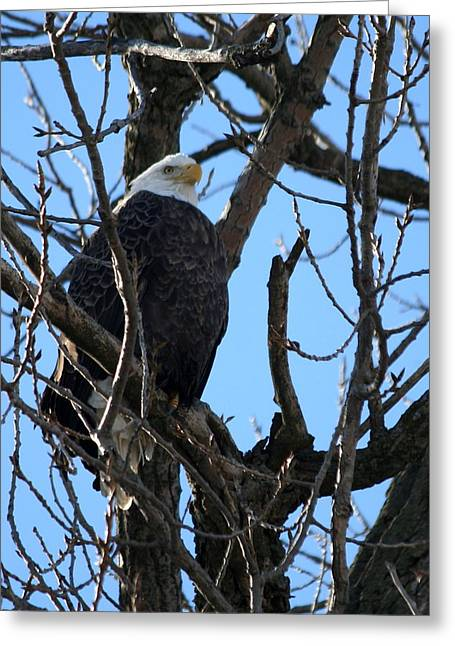 Eagle Watch Greeting Card by Laurel Gillespie