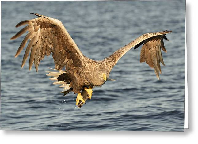 Eagle With Catch Greeting Card by Andy Astbury