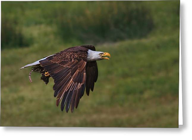Eagle With Prey Greeting Card