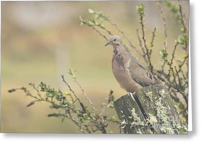 Eared Dove Greeting Card