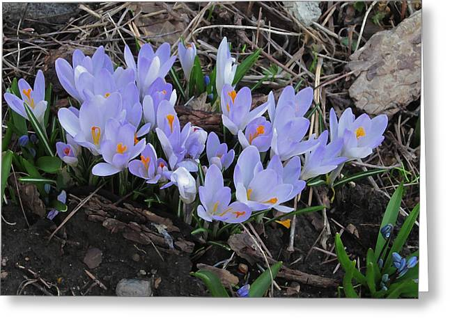 Early Crocuses Greeting Card by Donald S Hall