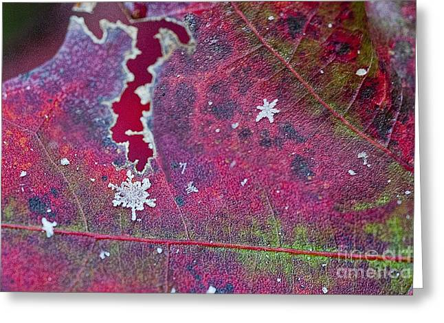 Early Fall Snow Flakes Greeting Card by Dan Friend