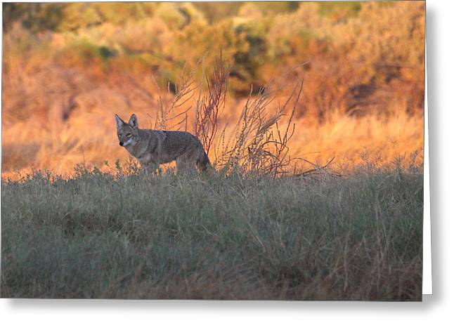 Early Morning Coyote Greeting Card