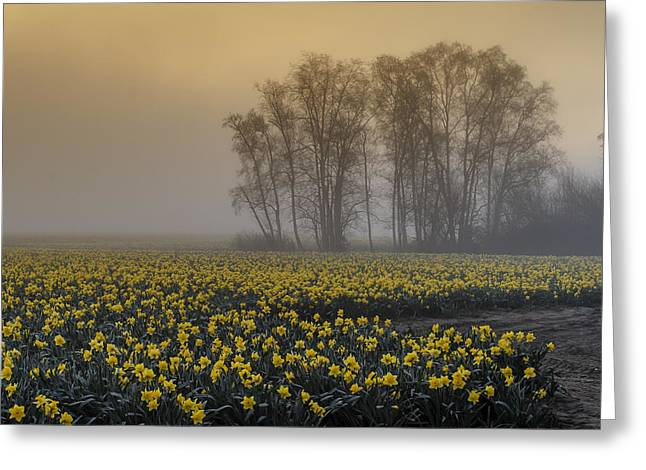 Early Morning Daffodil Fog Greeting Card