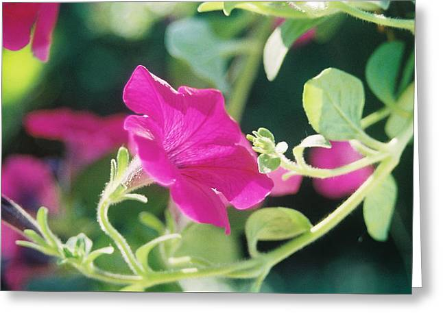 Greeting Card featuring the photograph Early Morning Petunias by Alan Lakin