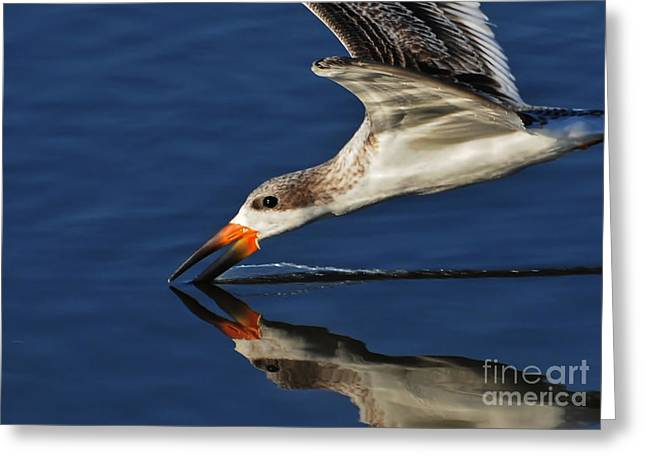 Greeting Card featuring the photograph Early Morning Skimmer by Kathy Baccari