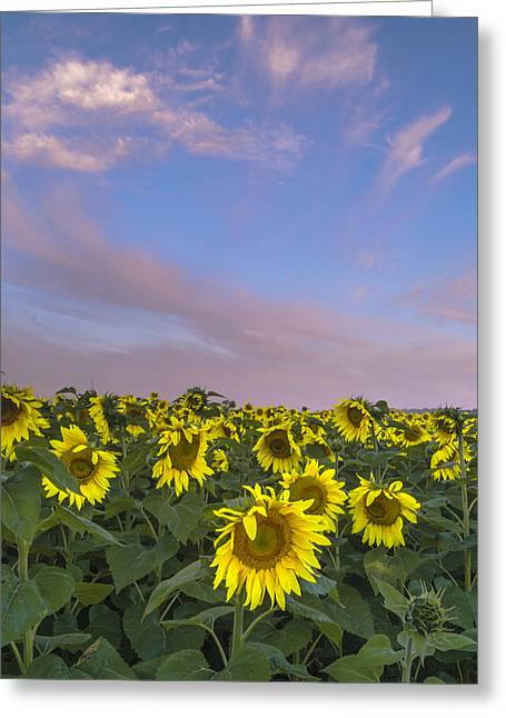 Early Morning Sunflowers Greeting Card by Thomas Pettengill