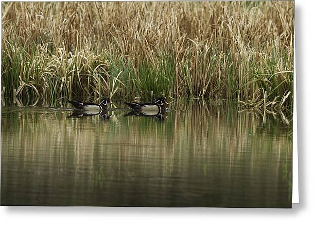 Early Morning Wood Ducks Greeting Card