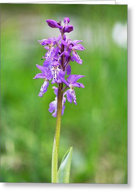 Early Purple Orchid (orchis Ichnusae) Greeting Card by Bob Gibbons