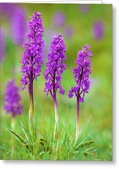 Early Purple Orchid (orchis Mascula) Greeting Card by Alex Hyde