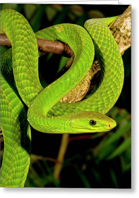 East African Green Mamba, Dendroaspis Greeting Card by David Northcott