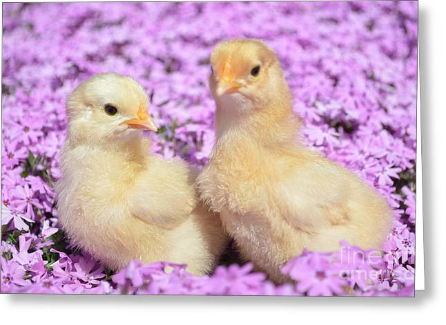 Easter Chicks Greeting Card by Kassia Ott