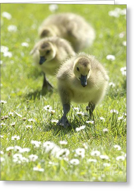 Easter Chicks Greeting Card by Sharon Talson