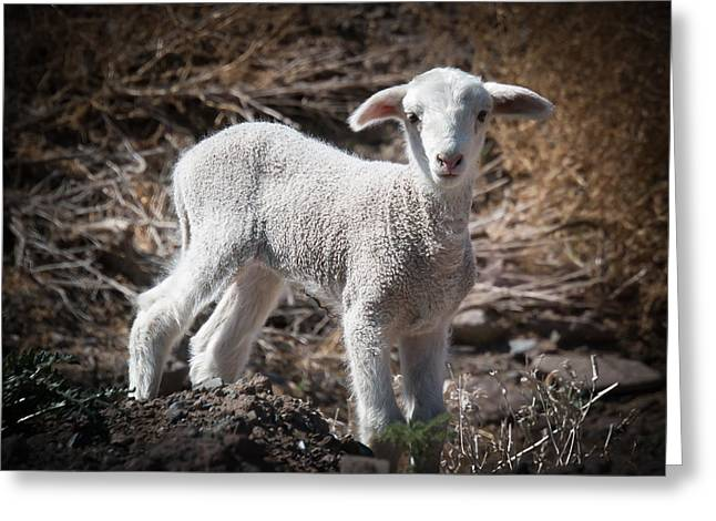 March Lamb Greeting Card