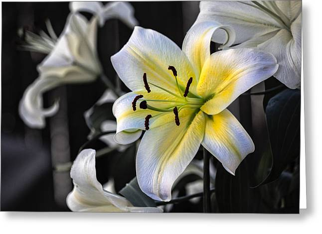 Easter Lily On Black Greeting Card by Dave Garner