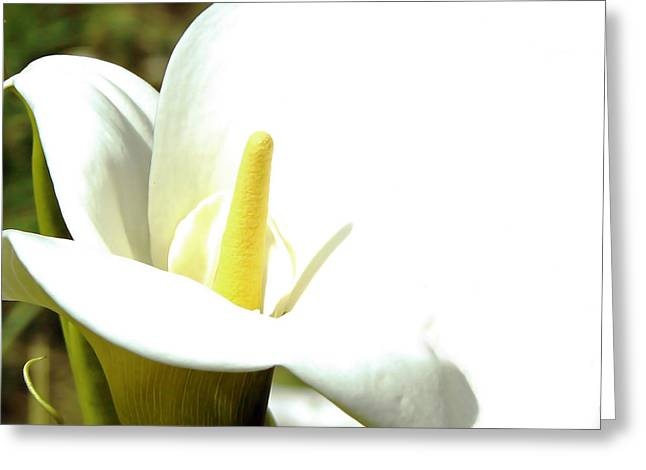 Easter Lily Greeting Card by Pamela Patch