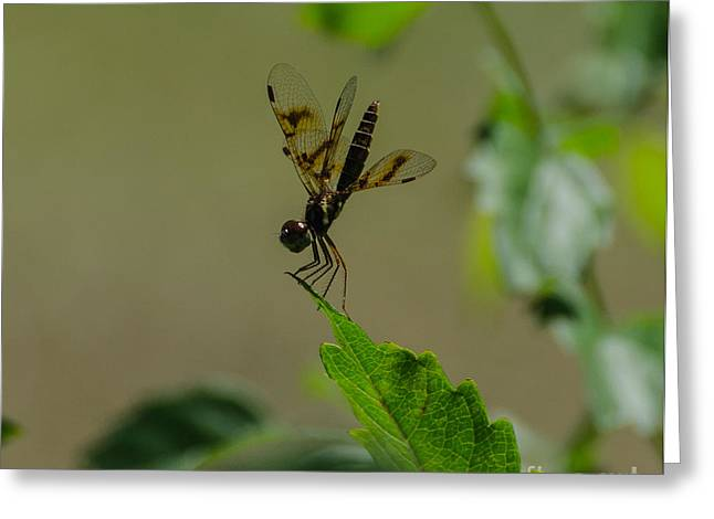 Eastern Amberwing Dragonfly  Male 2 Greeting Card by Donna Brown