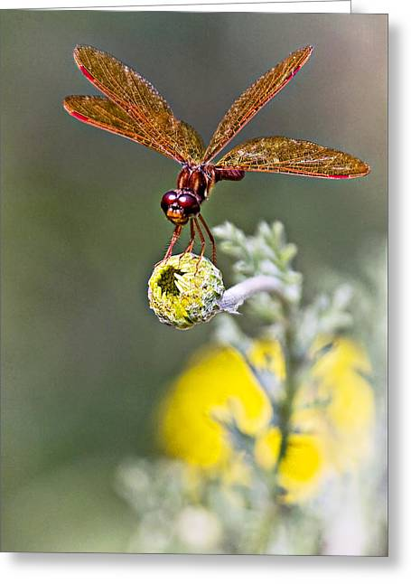 Eastern Amberwing Dragonfly Greeting Card by Marcia Colelli