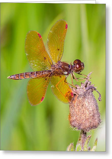Eastern Amberwing Greeting Card