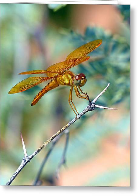 Eastern Amberwing Greeting Card by Randall Ingalls