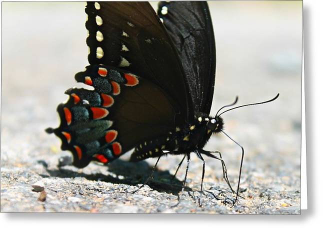 Greeting Card featuring the photograph Eastern Black Swallowtail by Candice Trimble