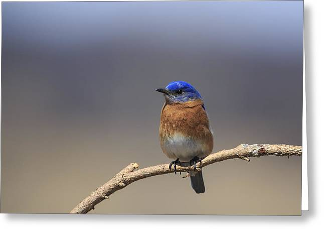Eastern Bluebird 3 Greeting Card
