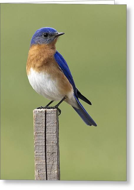 Eastern Bluebird Greeting Card by David Lester