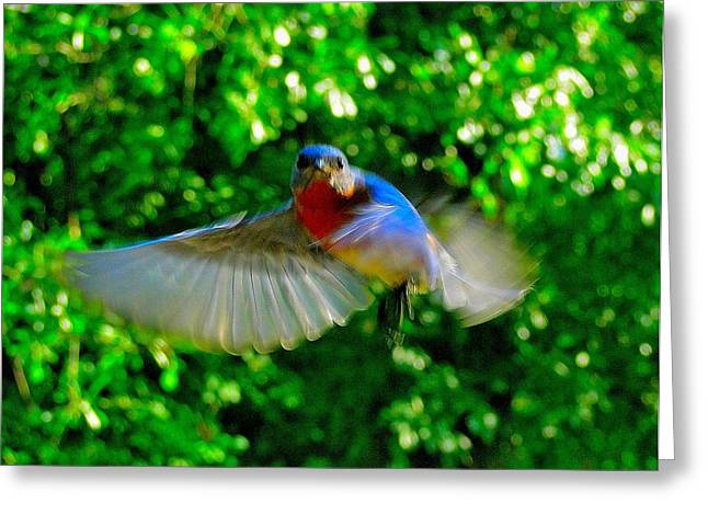 Eastern Bluebird In Flight Greeting Card by Cindy Croal