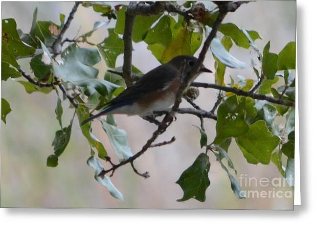Eastern Bluebird Greeting Card by Ruth  Housley