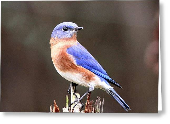 Eastern Bluebird - The Old Fence Post Greeting Card by Travis Truelove