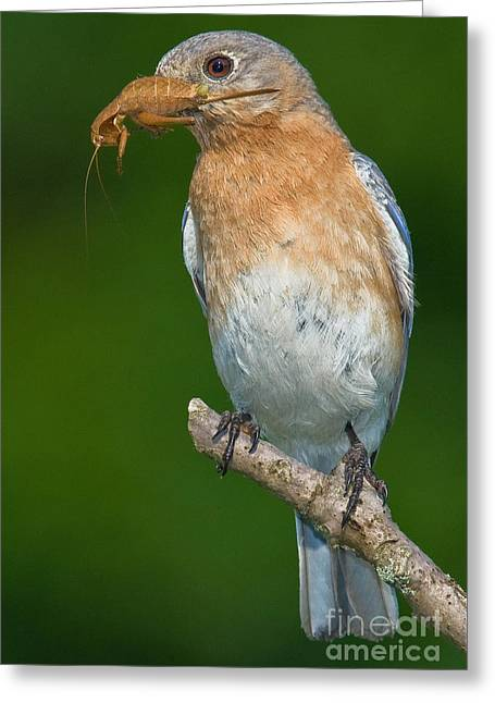 Eastern Bluebird With Katydid Greeting Card by Jerry Fornarotto