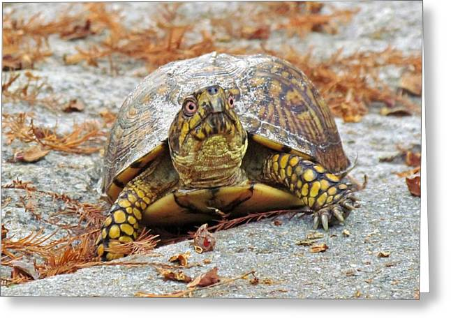 Greeting Card featuring the photograph Eastern Box Turtle by Cynthia Guinn