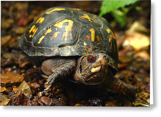 Eastern Box Turtle Greeting Card by Michael Eingle