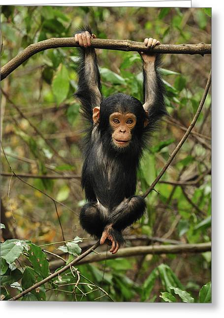 Eastern Chimpanzee Baby Hanging Greeting Card by Thomas Marent