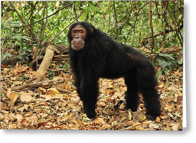 Eastern Chimpanzee Gombe Stream Np Greeting Card by Thomas Marent