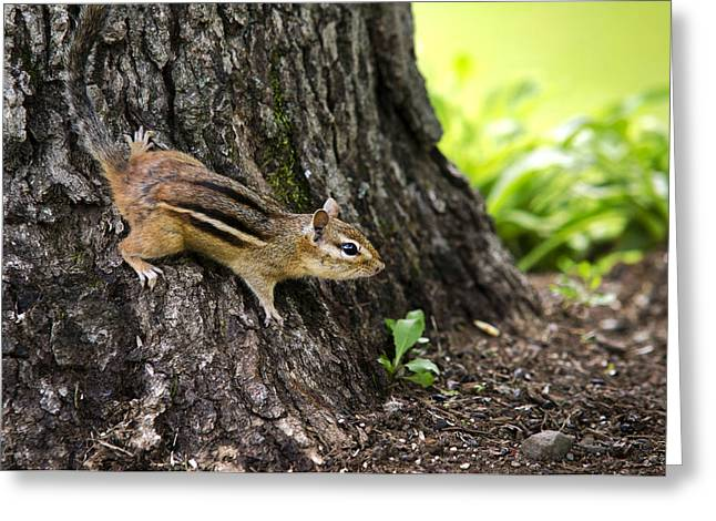 Eastern Chipmunk On Tree Greeting Card by Christina Rollo