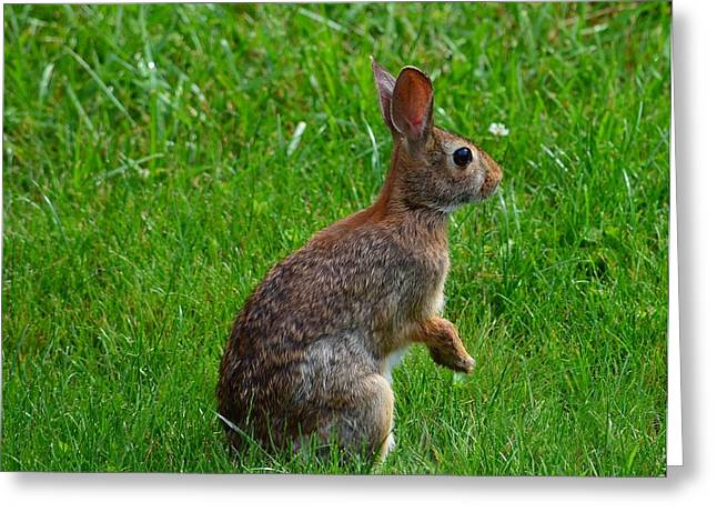 Eastern Cottontail Greeting Card