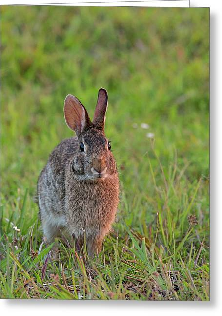 Eastern Cottontail, Sylvilagus Greeting Card by Maresa Pryor