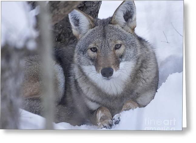 Eastern Coyote In Winter Greeting Card by Deborah Smith