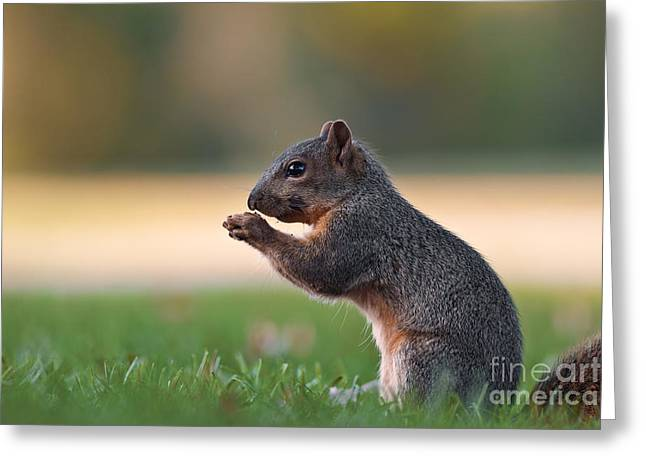 Eastern Fox Squirell Greeting Card by Brandon Alms