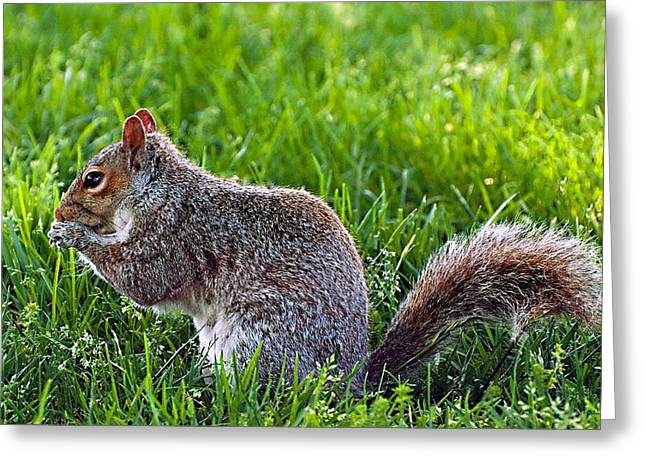 Greeting Card featuring the photograph Eastern Gray Squirrel by Donna Proctor
