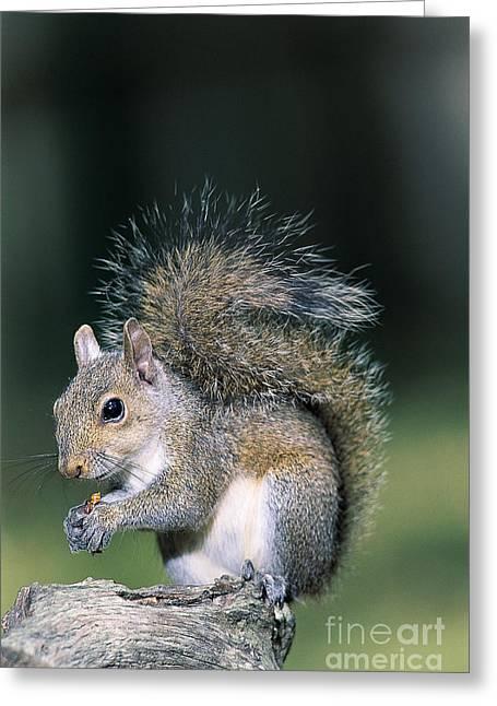 Eastern Gray Squirrel Greeting Card by Millard H. Sharp