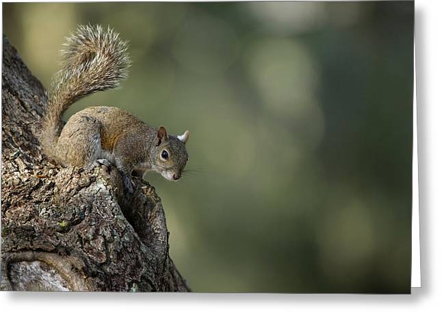 Eastern Gray Squirrel, Or Grey Squirrel Greeting Card by Pete Oxford