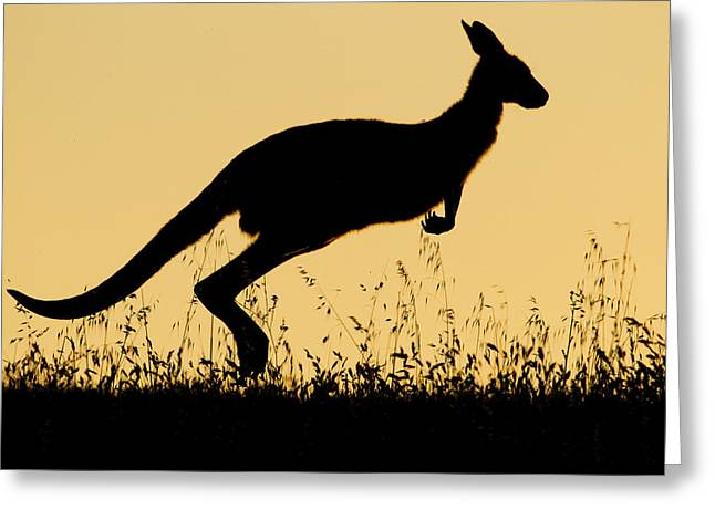 Eastern Grey Kangaroo Hopping At Sunset Greeting Card