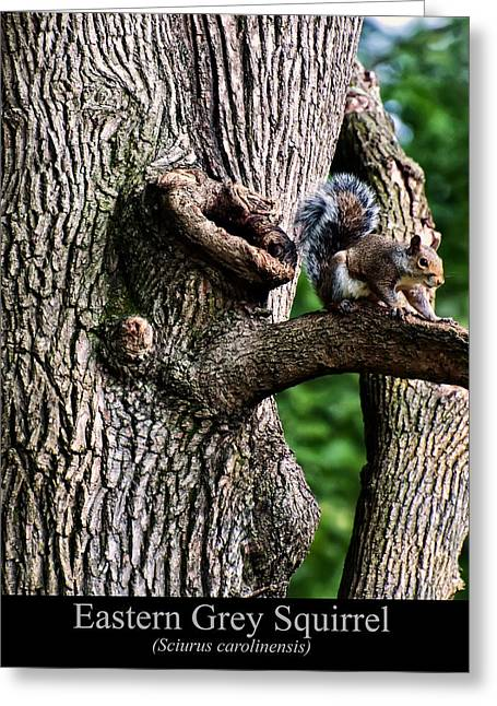Eastern Grey Squirrel Greeting Card by Chris Flees
