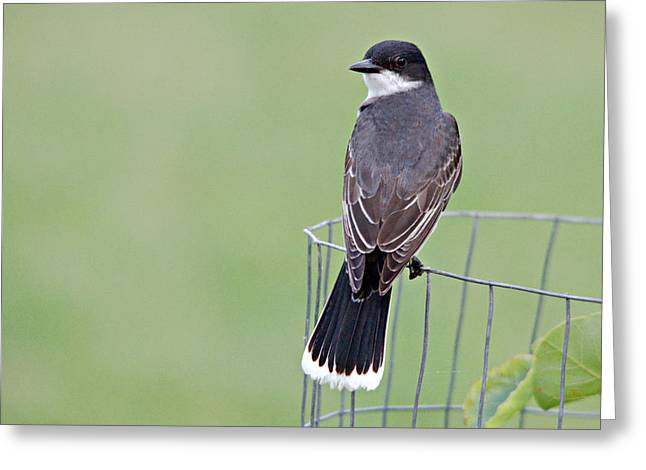 Eastern Kingbird Looking At Me Greeting Card by Roy Williams